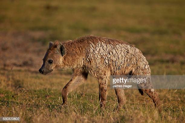 Spotted hyena (spotted hyaena) (Crocuta crocuta), Ngorongoro Crater, Tanzania, East Africa, Africa