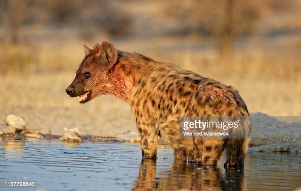 spotted hyena - spotted hyena stock pictures, royalty-free photos & images