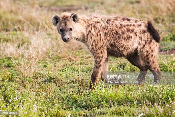 spotted hyena (crocuta crocuta) - spotted hyena stock pictures, royalty-free photos & images
