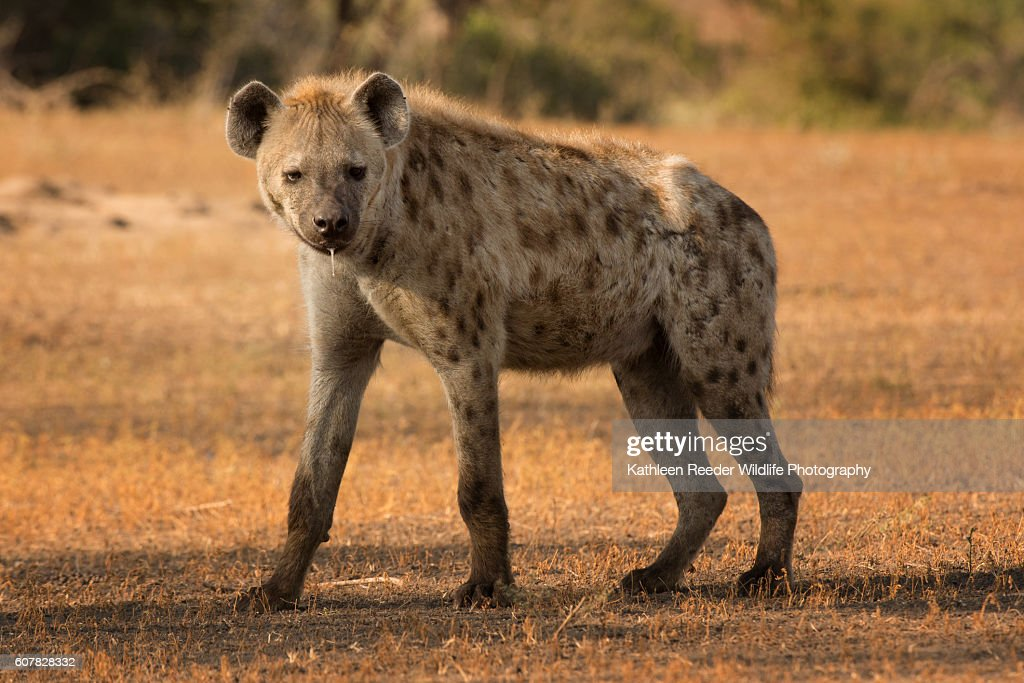 Spotted Hyena : Stock Photo
