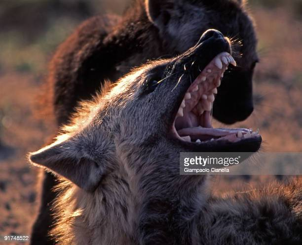 spotted hyena  - hyena stock pictures, royalty-free photos & images