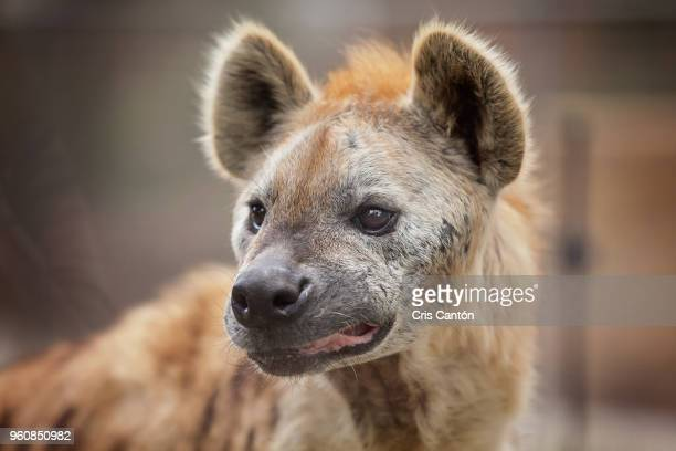 spotted hyena (crocuta crocuta) - hyena stock pictures, royalty-free photos & images
