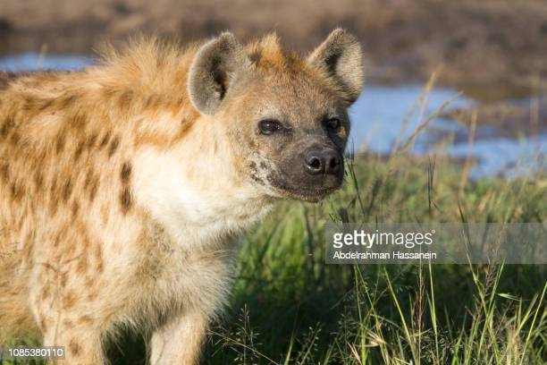 spotted hyena portrait - spotted hyena stock pictures, royalty-free photos & images