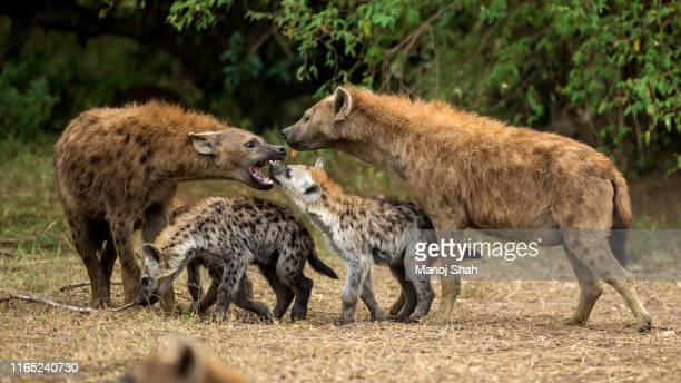 spotted hyena puppy in a play fight with a male adult in masai mara - spotted hyena stock pictures, royalty-free photos & images