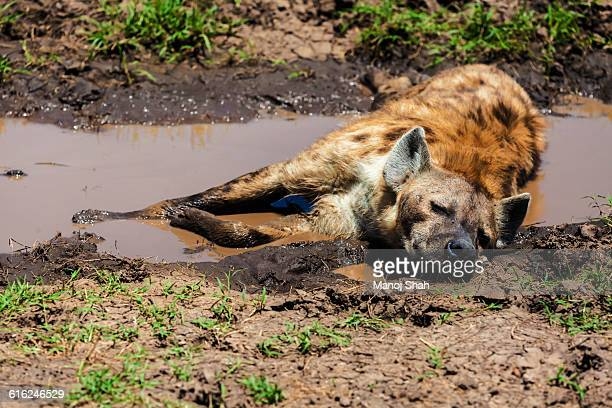 Spotted Hyena resting in water