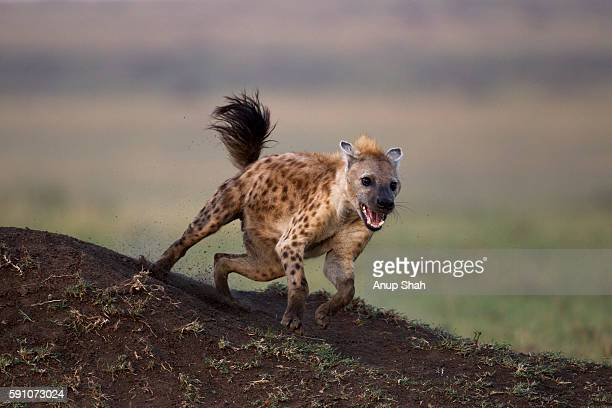 spotted hyena running - hyena stock pictures, royalty-free photos & images
