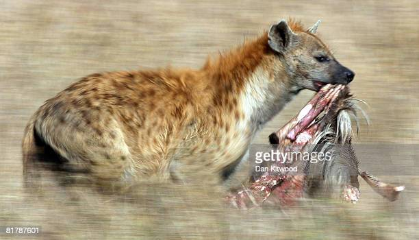 Spotted Hyena runs through grassland with a carcass on December 11 2007 in the Masai Mara Game Reserve Kenya