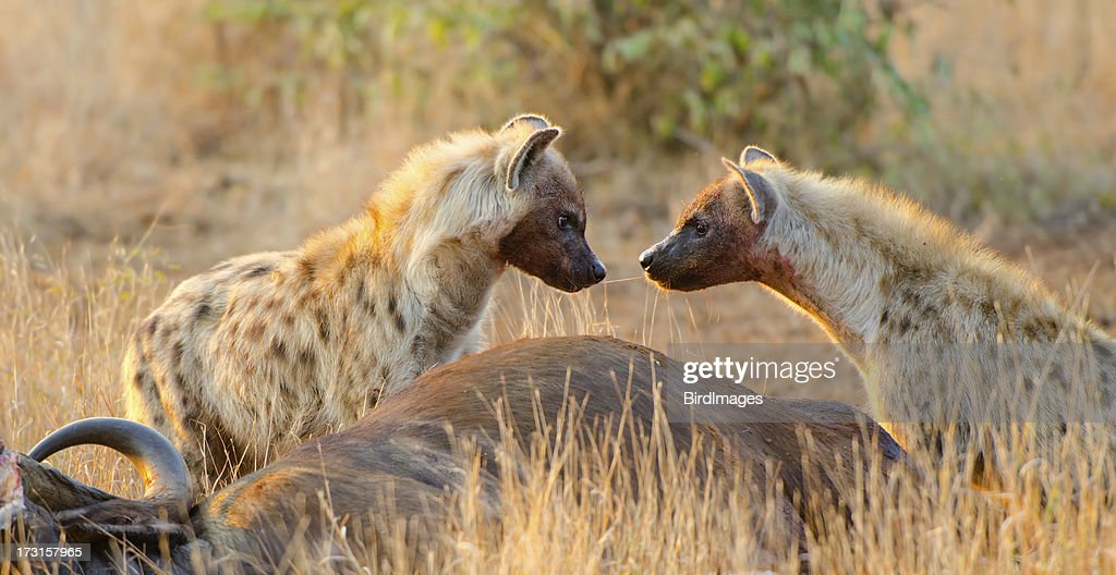 Spotted Hyena Sharing Food -South Africa : Stock Photo