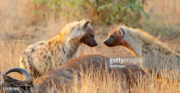 Spotted Hyena Sharing Food -South Africa