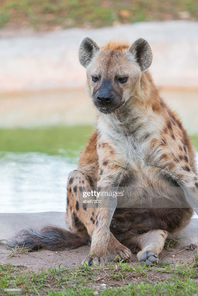spotted hyena sitting : Stock Photo