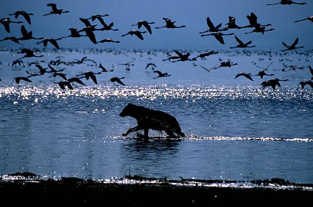 Spotted Hyena Stalks Flamingoes On Lake Nakuru Wall Art