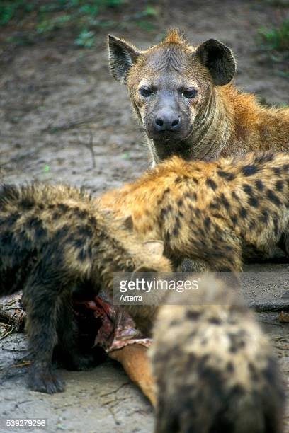 Spotted hyena watching over cubs feeding on carcass Kruger National Park South Africa