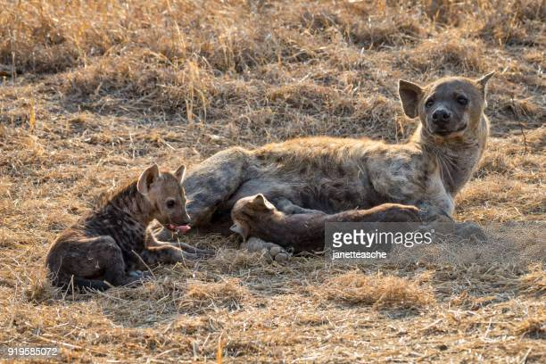 Spotted hyena with her two pups, Mpumalanga, South Africa