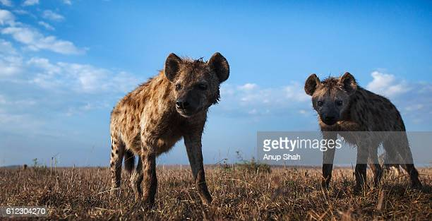spotted hyenas approaching with curiosity with black-backed jackals in the background - hyena stock pictures, royalty-free photos & images