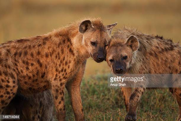 spotted hyenas greeting - spotted hyena stock pictures, royalty-free photos & images