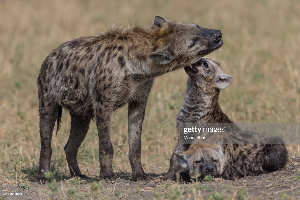 Spotted hyenas grooming : Stock Photo