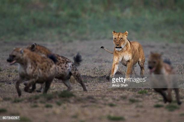 spotted hyenas in confrontation with a lioness - hyena stock pictures, royalty-free photos & images