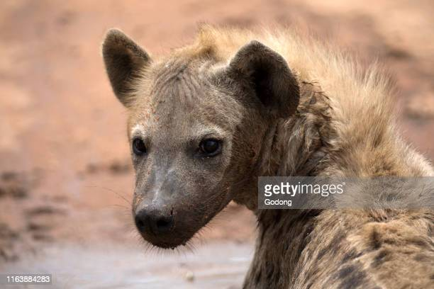 Spotted hyenas Kruger National Park SouthAfrica