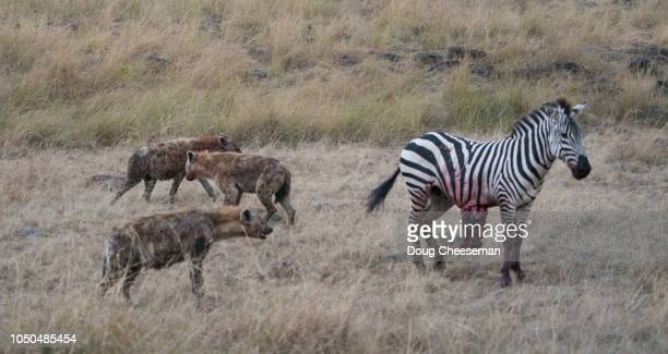 Spotted Hyenas stalking injured Burchell's Zebra