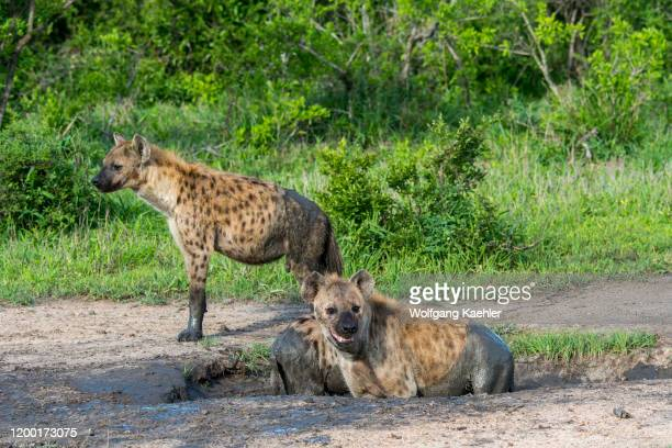 Spotted hyenas taking a bath in a mud pool in the Manyeleti Reserve in the Kruger Private Reserves area in the Northeast of South Africa