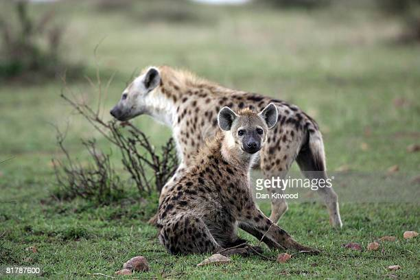 Spotted Hyenas walk through grassland on December 13 2007 in the Masai Mara Game Reserve Kenya
