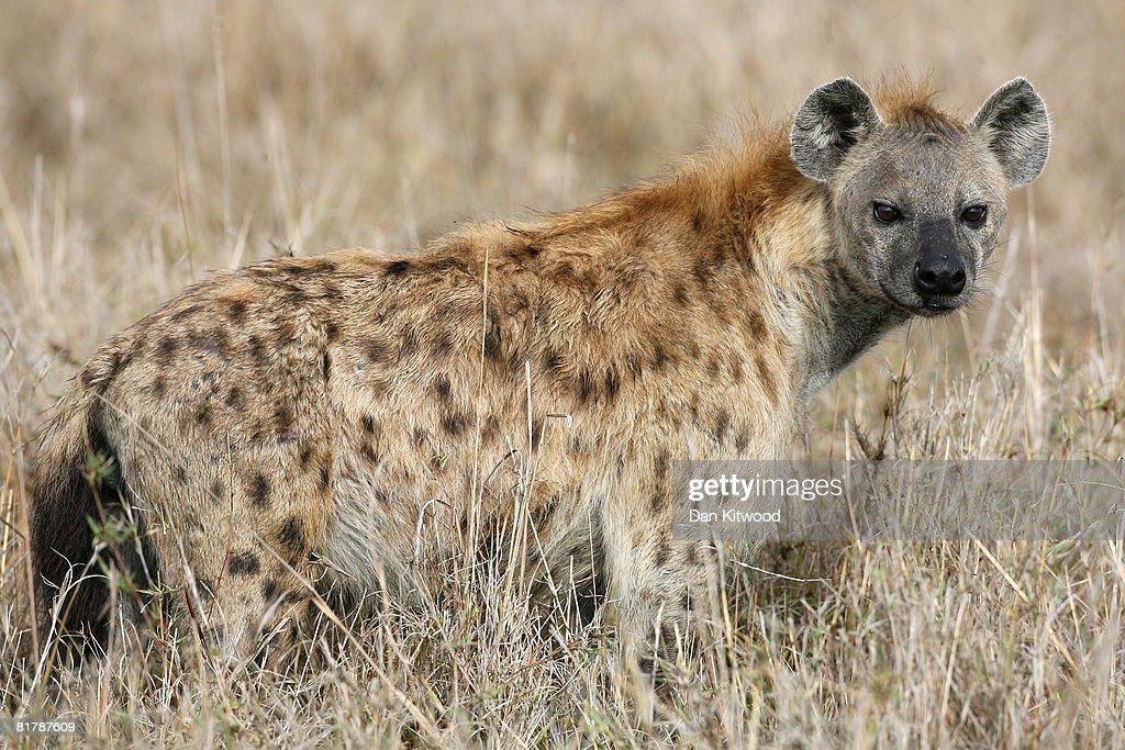 Kenyan Safari : News Photo