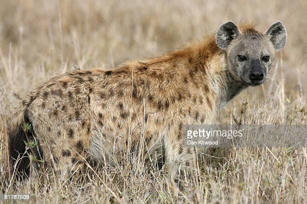 Spotted Hyenas walks through grassland on December 11 2007 in the Masai Mara Game Reserve Kenya