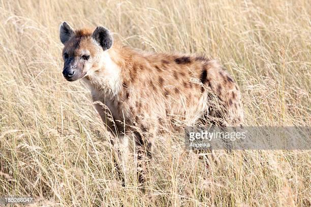 Gepunktete Hyenat, Masai Mara-Park, Kenia