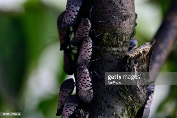 Spotted Lanternfly colonizes trees along a pathway on the banks of the Green Lane Reservoir in Berks County PA on September 16 2018 A large number of...
