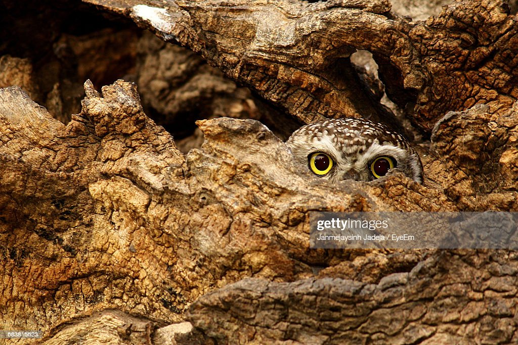 Spotted Owl Hiding In Tree Trunk