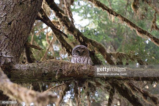 Spotted owl perched on tree branch, Olympic National Park, Washington, USA