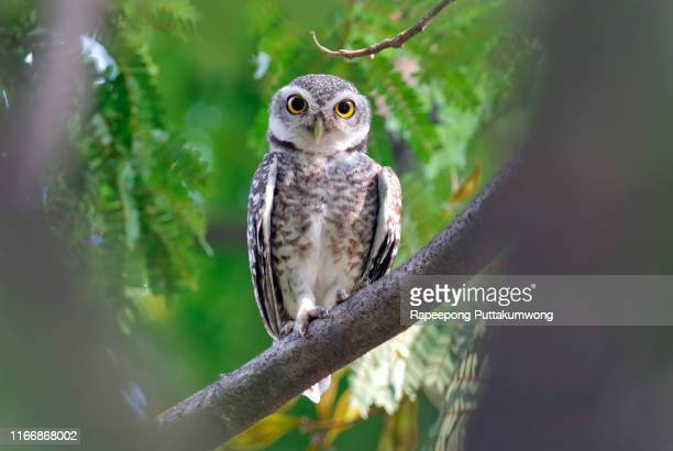 spotted owlet athene brama beautiful birds of thailand perching on the tree - beak stock pictures, royalty-free photos & images