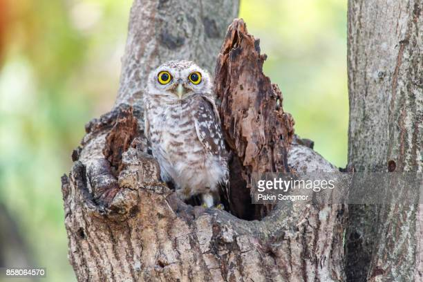 Spotted owlet Athene brama nest in tree hollow.