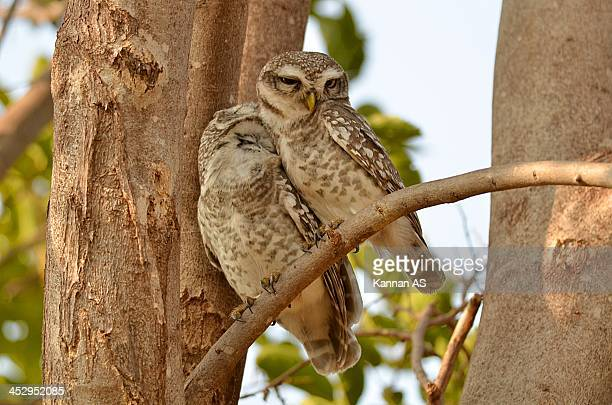 Spotted owlet couple