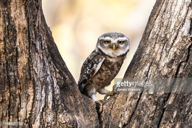 spotted owlet in dhok tree - ranthambore national park stock pictures, royalty-free photos & images