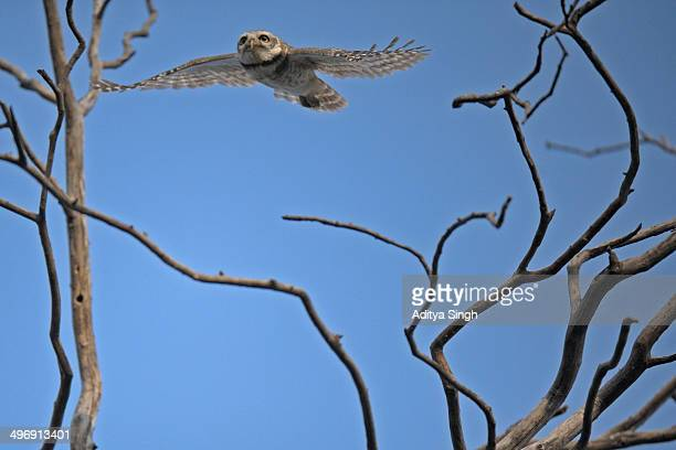 Spotted owlet in flight