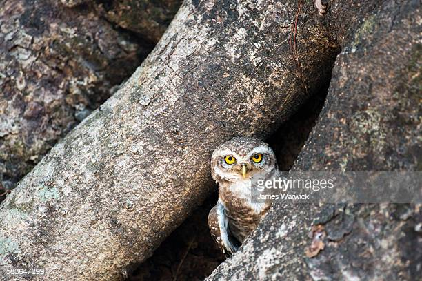 Spotted owlet in Indian banyan tree hollow