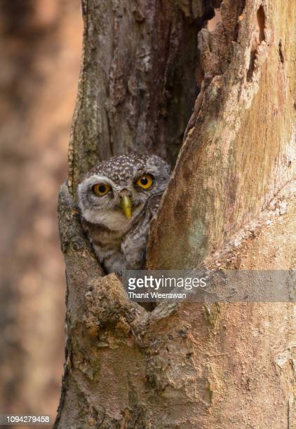 Spotted owlet in the wood hollow