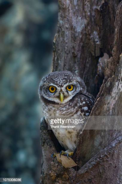 Spotted owlet in the wooden hollow