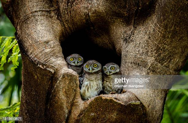spotted owlet (athene brama) is a small owl which breeds in tropical asia, pair living in the tree hole in nature - bird's nest stock pictures, royalty-free photos & images