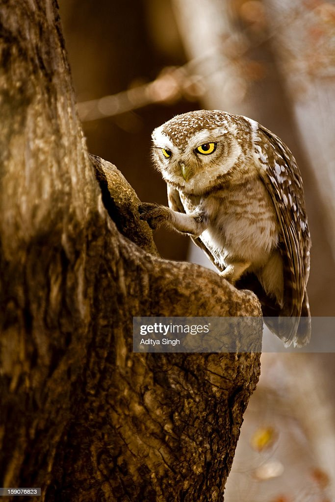 Spotted Owlet on a perch : Stock Photo