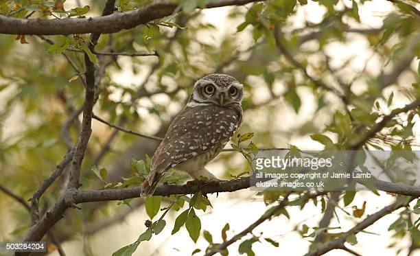 Spotted owlet on tree branch