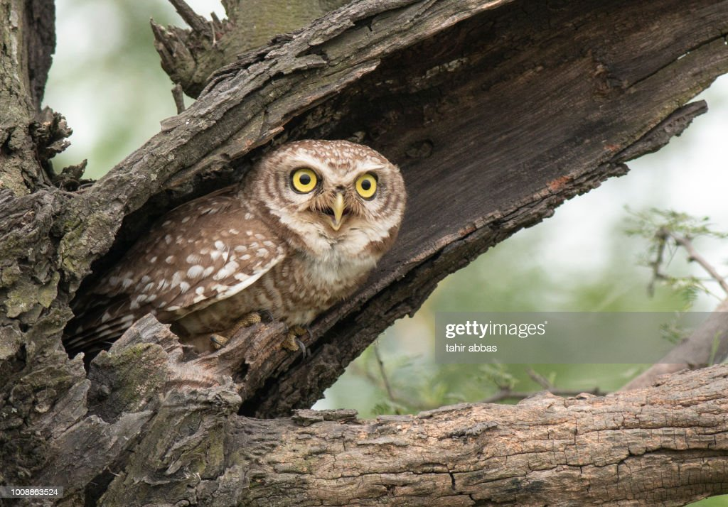Spotted owlet : Stock Photo