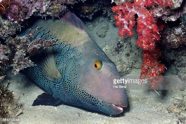 Spotted Parrotfish closeup-intermediate phase