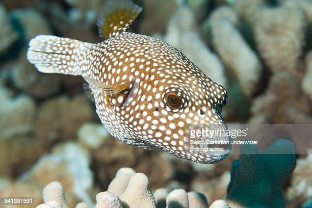 Spotted Pufferfish in Hawaii