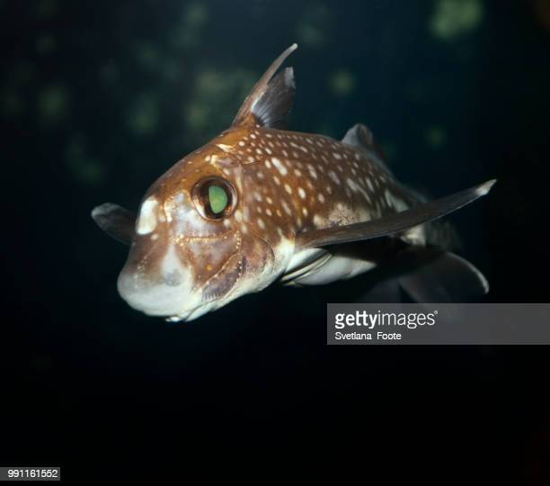 spotted ratfish - svetlana stock photos and pictures