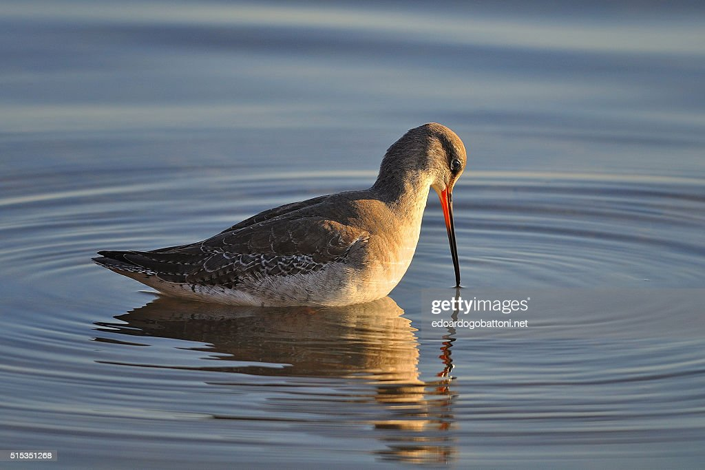 spotted redshank : Foto stock