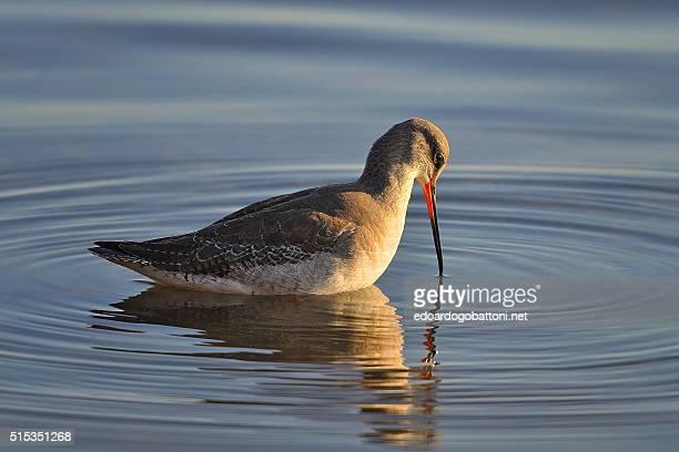 spotted redshank - edoardogobattoni - fotografias e filmes do acervo