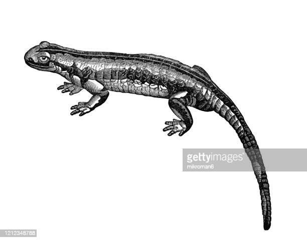 spotted salamander - species, classification of batrachians and other amphibia - osseous fishes. antique illustration, published 1894 - sapo do suriname imagens e fotografias de stock