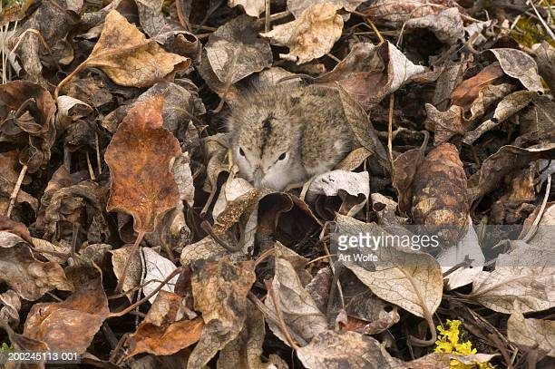 Spotted sandpiper chick (Actitis macularia) camouflaged in dead leaves